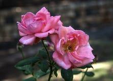 Fleurs de Rose Image libre de droits