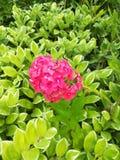 Fleurs de rose chaud images libres de droits