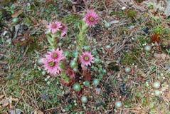 Fleurs de rose d'arachnoideum de Sempervivum Images libres de droits
