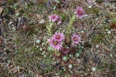 Fleurs de rose d'arachnoideum de Sempervivum Image libre de droits