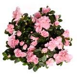 Fleurs de Rose d'isolement photo libre de droits
