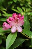 Fleurs de rose d'oléandre de Nerium Photographie stock libre de droits