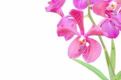 Fleurs de rose d'orchidée de Vanda Image libre de droits
