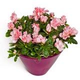 Fleurs de Rose dans le flowerpot photos stock