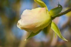 Fleurs de rose de blanc Image libre de droits