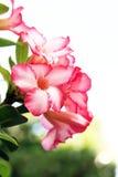 Fleurs de Rose de désert Image stock