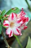 Fleurs de Rose de désert Images stock