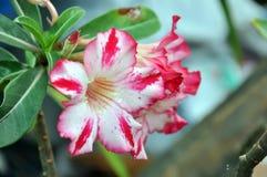 Fleurs de Rose de désert Image libre de droits