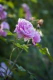 Fleurs de rose de rose Images libres de droits