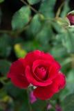 Fleurs de rose de rouge dans le jardin Photos stock