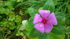 Fleurs de rose de Sadabahar images stock