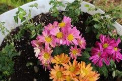 Fleurs de rose de pot de floraison, pourpres et oranges photo libre de droits
