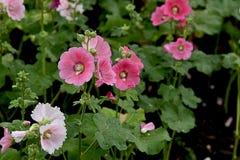 Fleurs de rose trémière photo stock