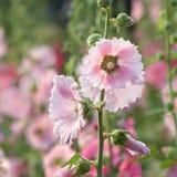 Fleurs de rose trémière en nature Images stock