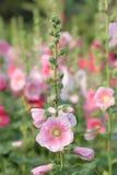 Fleurs de rose trémière en nature Photo libre de droits