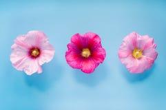 Fleurs de rose trémière sur le fond bleu Photo libre de droits