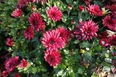 Fleurs de rouge cramoisi de chrysanthème photographie stock libre de droits