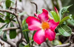 Fleurs de rouge d'Adenium Images libres de droits