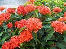 Fleurs de rouge d'Ixora Images libres de droits