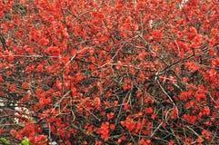 Fleurs de rouge de ressort de la Crimée Yalta Photos stock
