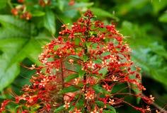 Fleurs de rouge de paon image stock