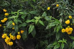 Fleurs de Rudbeckia Image stock