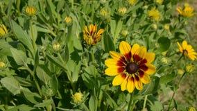 Fleurs de Rudbeckia dans le jardin de ferme banque de vidéos