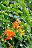 Fleurs de Russelia en rouge Photographie stock libre de droits