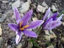 Fleurs de safran Photo libre de droits
