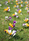 fleurs de safran Photo stock