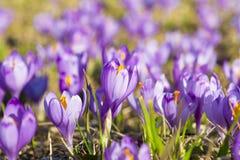 Fleurs de safran Photos libres de droits
