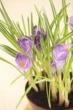 Fleurs de safran Photographie stock