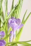 Fleurs de safran Image stock