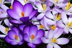 Fleurs de safran Photos stock