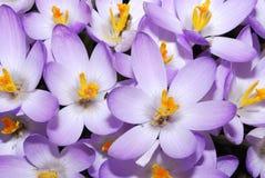 Fleurs de safran image libre de droits