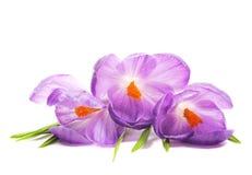 Fleurs de safran de source Photo libre de droits