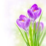 Fleurs de safran de source Image stock