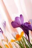 Fleurs de safran de vacances de source Photos libres de droits