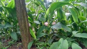 Fleurs de safran des indes images stock