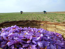 Fleurs de safran en fleur Photo stock
