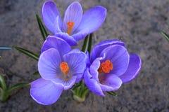 Fleurs de safran en soleil de printemps Photographie stock