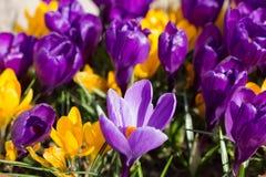 Fleurs de safran en soleil de printemps Image libre de droits
