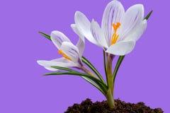 Fleurs de safran en soleil de printemps Photographie stock libre de droits