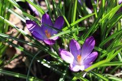 Fleurs de safran en soleil de printemps Images stock