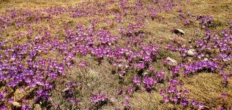 Fleurs de safran en soleil de printemps Photos stock