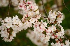 Fleurs de Sakura à Memphis Images stock