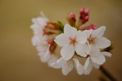 Fleurs de Sakura à Memphis Images libres de droits