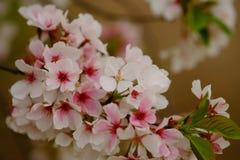 Fleurs de Sakura à Memphis Photo libre de droits