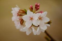 Fleurs de Sakura à Memphis Photographie stock
