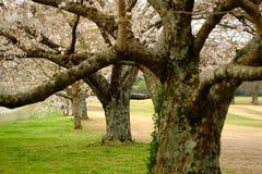 Fleurs de Sakura à Memphis Photo stock